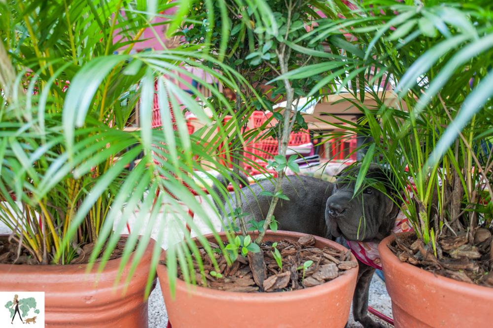 cachorro atrás de vasos de plantas
