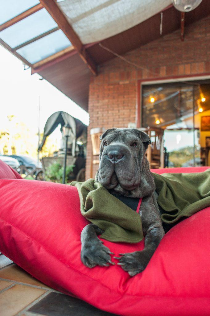 cachorro deitado na almofada