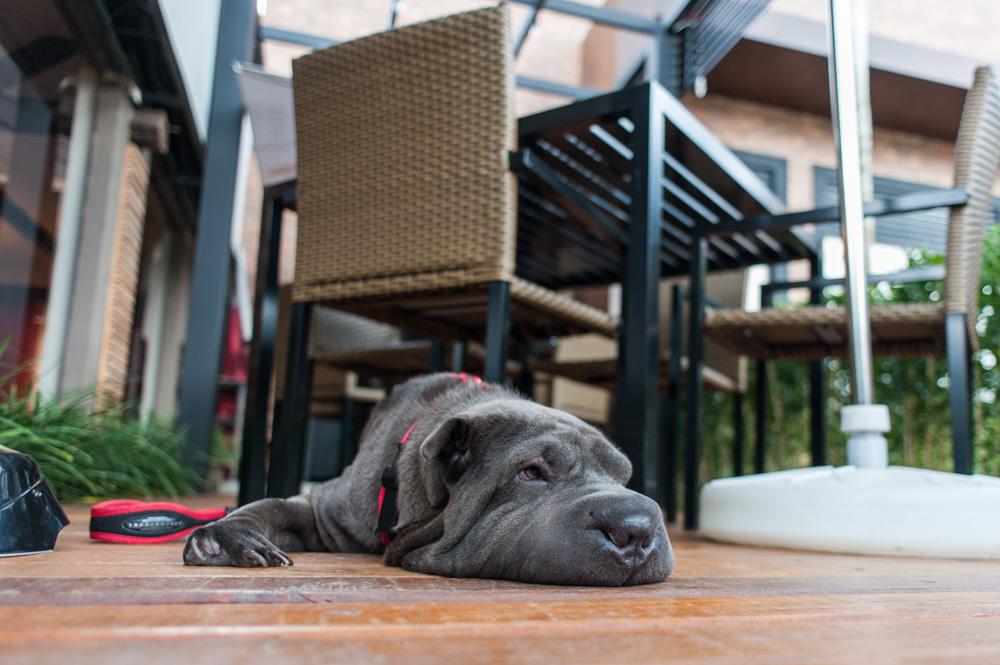 cachorro deitado em deck de madeira
