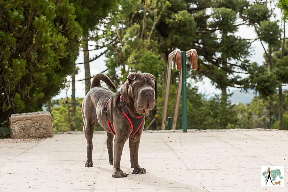 cachorro cachorro de pé com araucárias ao fundo