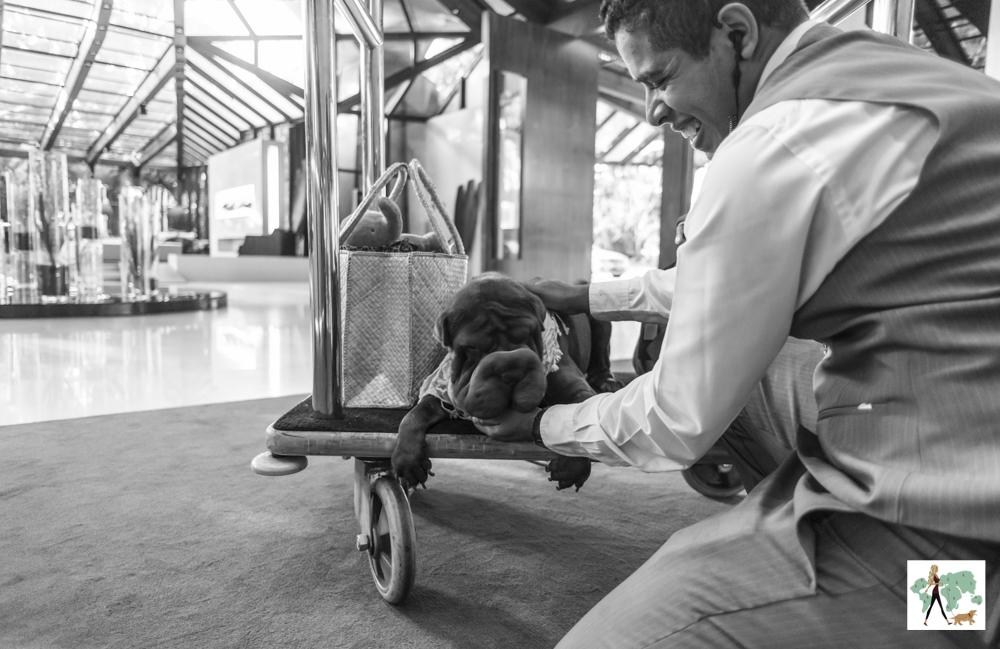 cachorro em cima de carrinho que leva as malas dos hóspedes brincando com bellboy