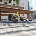 cachorro de fita amarela deitado