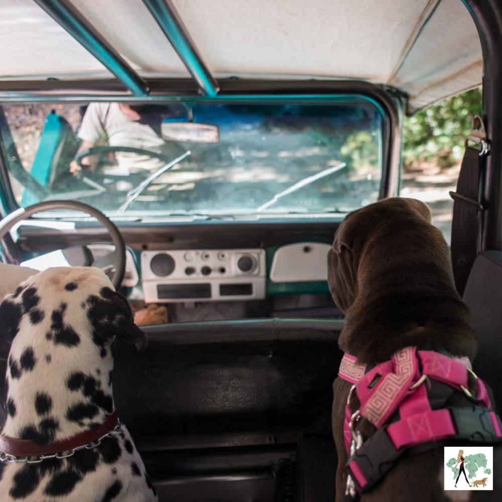 cachorros dentro do carro olhando para volante