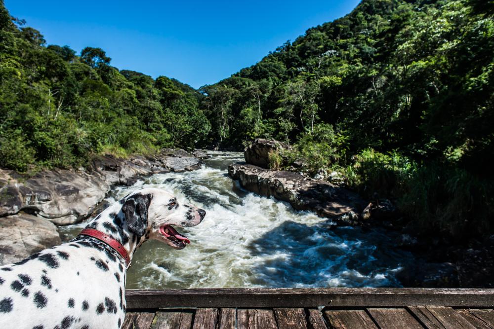 cachorro em cima da ponte de madeira com rio ao fundo