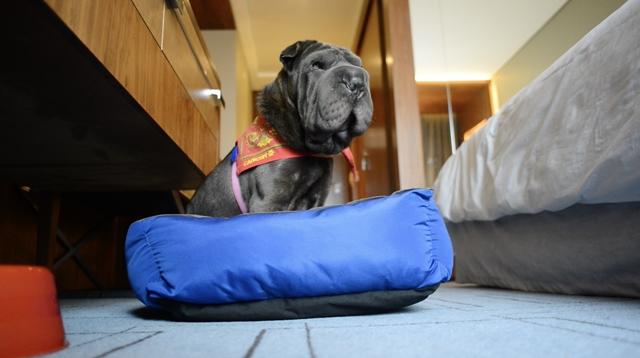 cachorro deitado em frente a cama em quarto de hotel