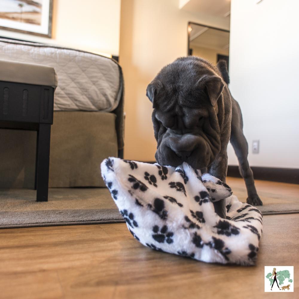 cachorro brincando com cobertor
