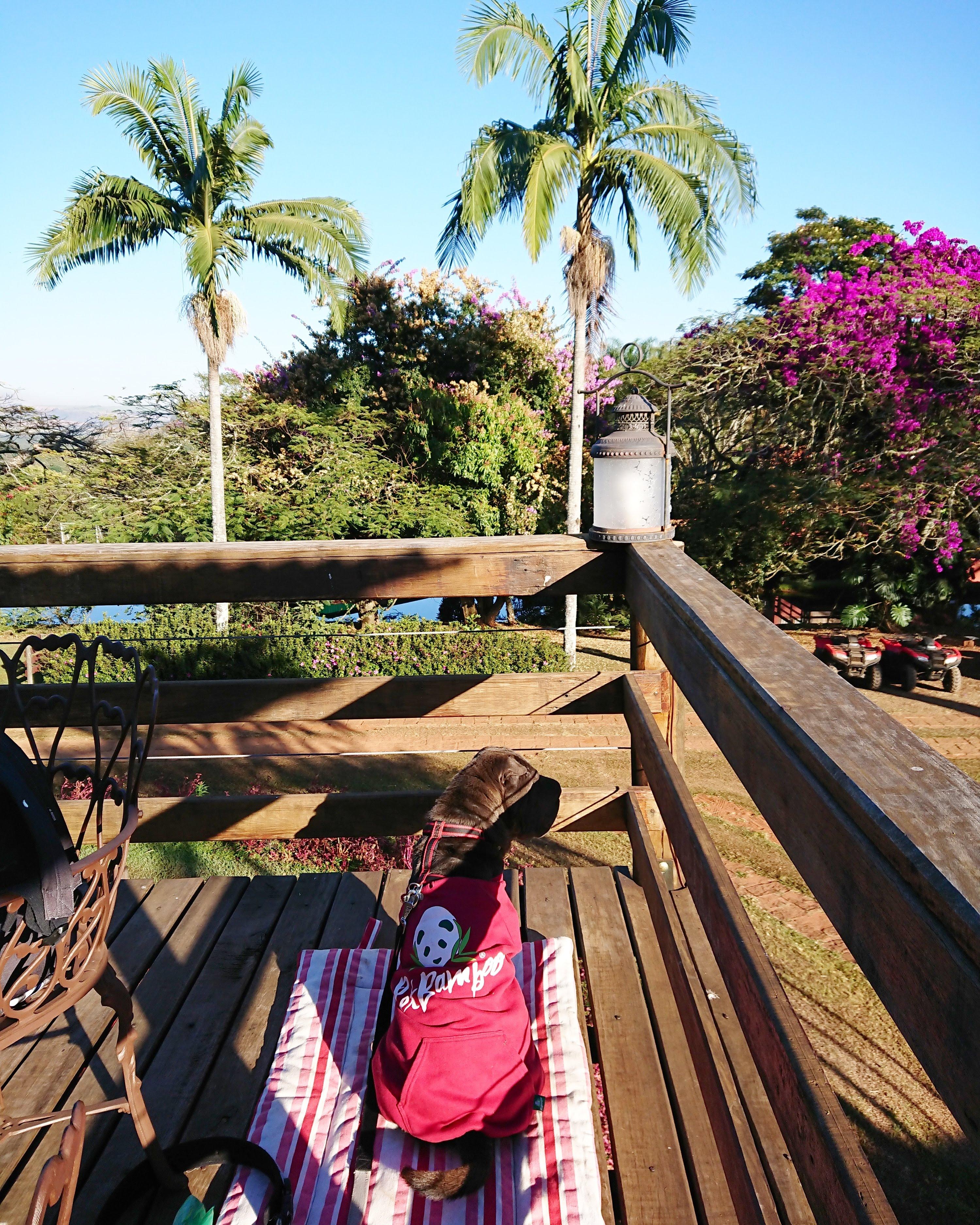 cachorro sentado de costas em deck de madeira com palmeiras ao fundo
