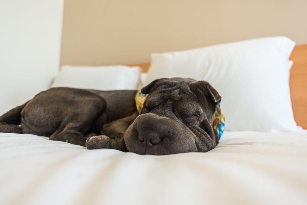 cachorro dormindo em cama de hotel
