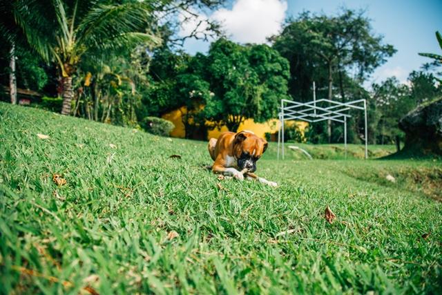 cachorro roendo um graveto em gramado