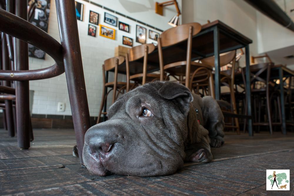 cachorro sharpei deitado no chão de hamburgueria