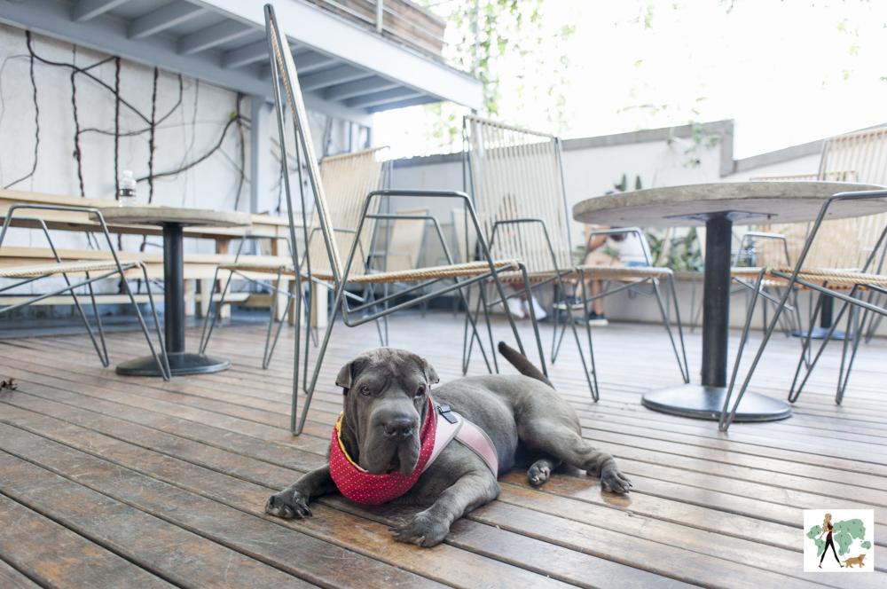 cachorro sharpei deitado em varanda de restaurante