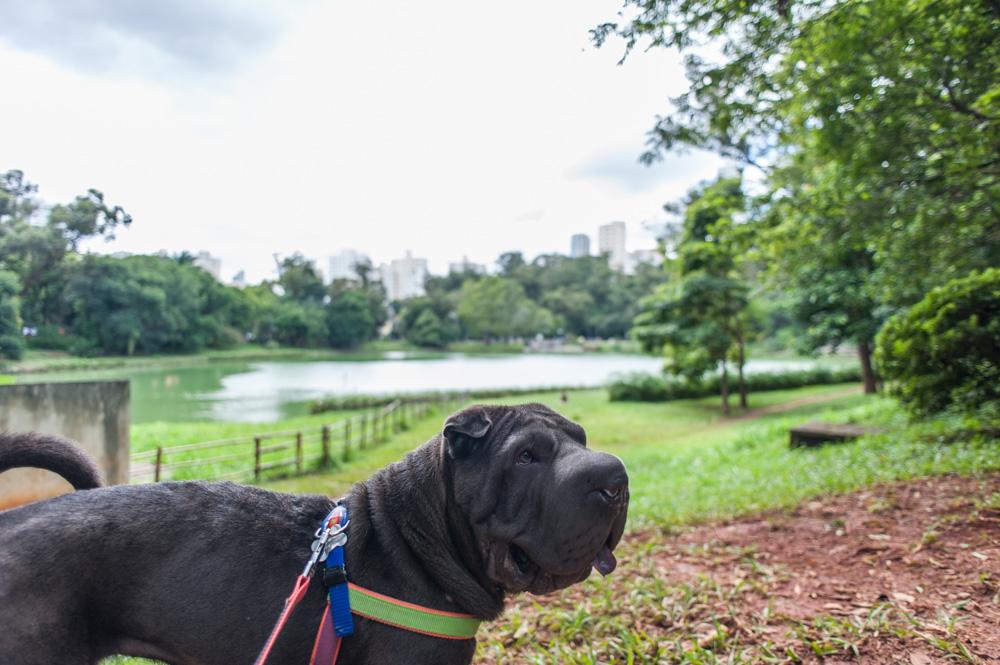 cachorro em pé no parque com lago ao fundo