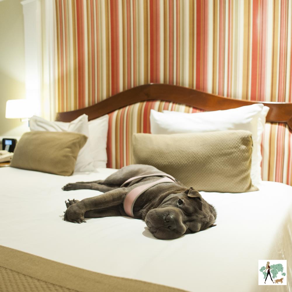 cachorro deitado na cama em quarto de hotel
