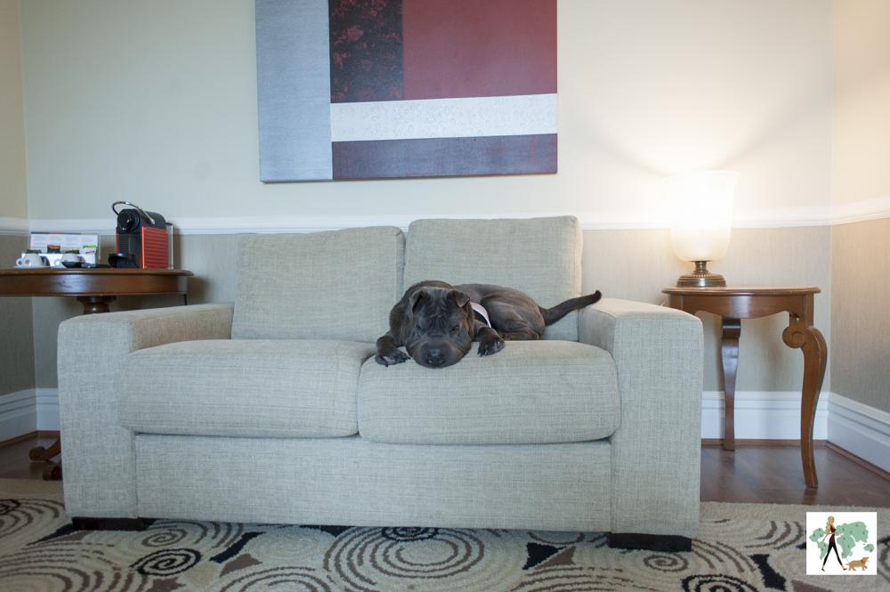 cachorro deitado em sofá de suíte de hotel de luxo