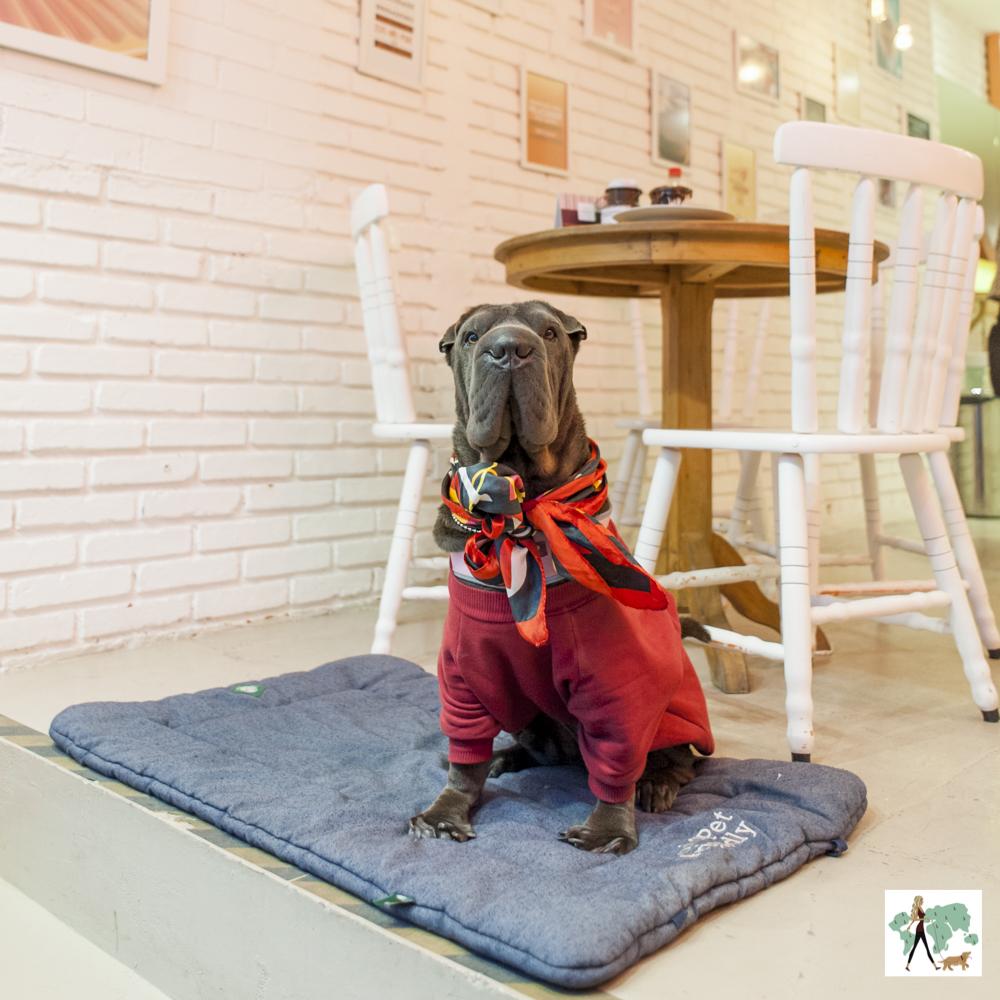 cachorro com roupinha de frio e lenço sentado no colchonete