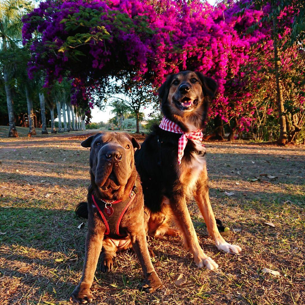 cachorros sentados no gramado com árvore florida atrás