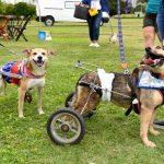 cachorros cadeirantes fantasiado no jardim