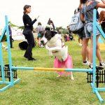 cachorro fantasiado pulando obstáculo no jardim
