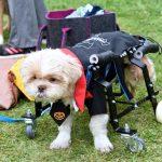 cachorro cadeirante fantasiado no jardim