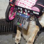 cachorro portador de necessidades especiais com cadeirinha