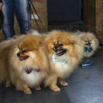 cachorros com laços