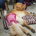 cachorro com fralda rosa deitado no chão