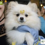 cachorro branco com roupa azul e laço na cabeça