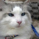 gato branco de olhos verdes