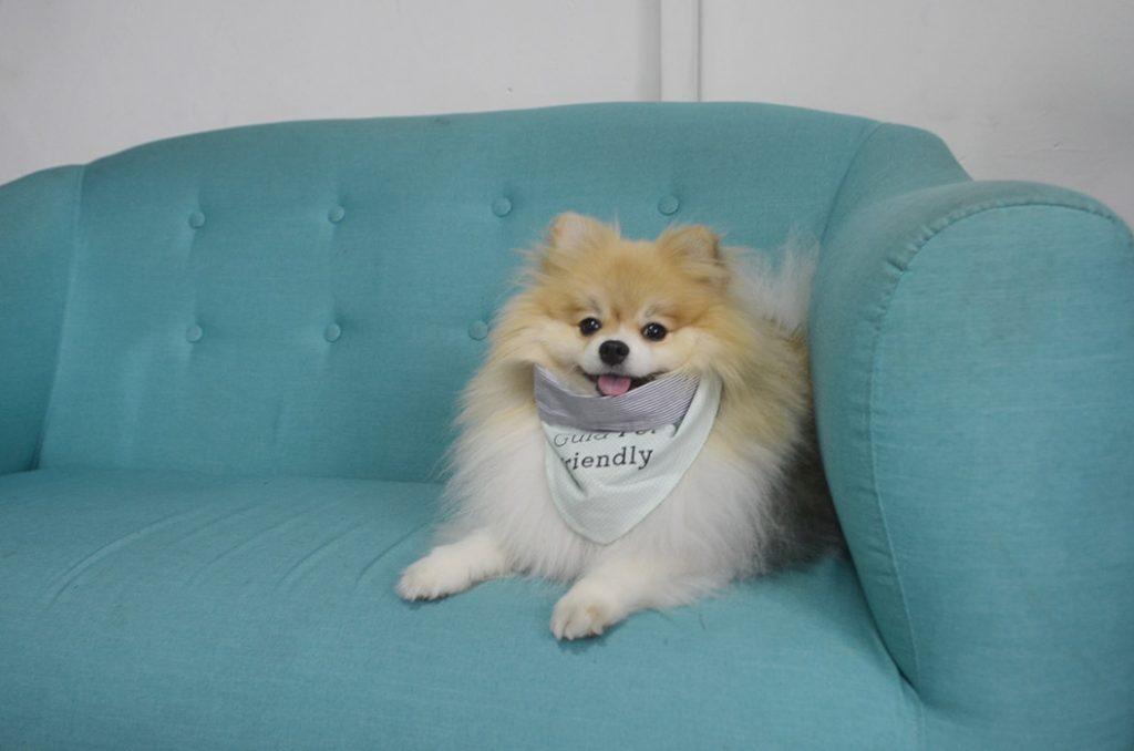 cachorro spitz sentado em sofá