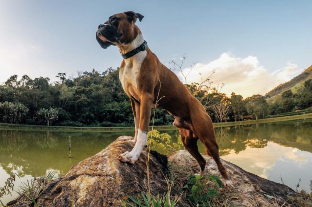 cachorro de pé em cima de pedra e lago ao fundo