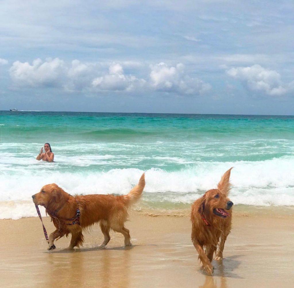 cachorros golden retriever na praia no Rio de Janeiro