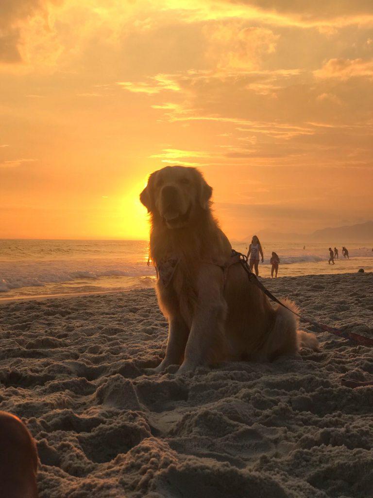 cachorro goldenretriever vendo o por do sol na barra da tijuca