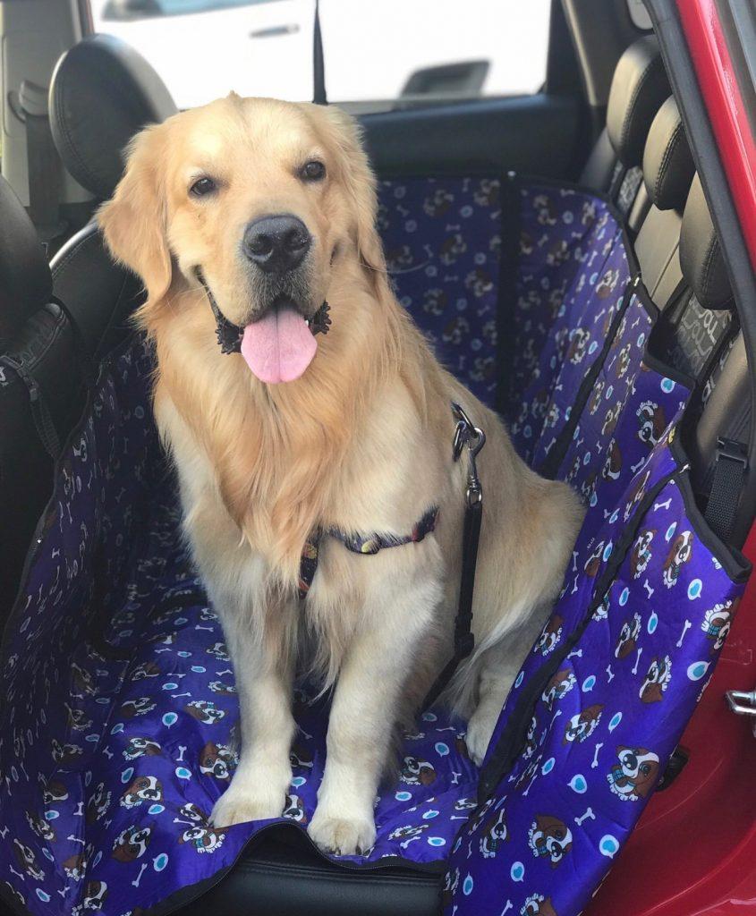 cachorro golden retriever dentro do carro com cinto de segurança