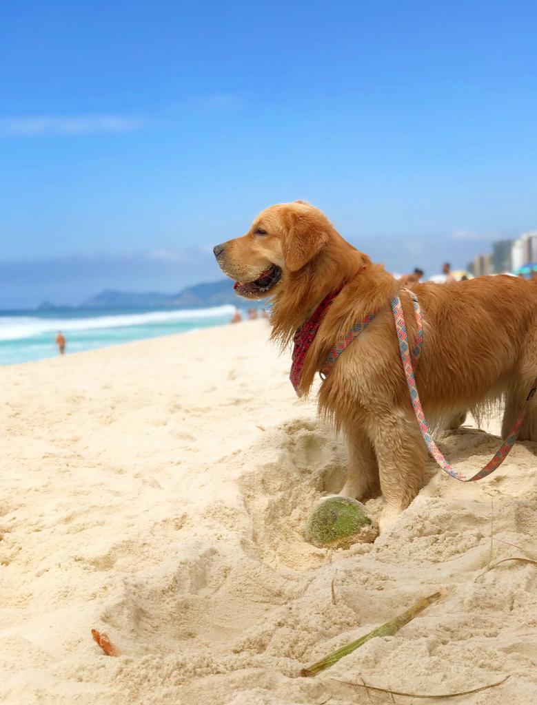 cachorro golden retreiver na praia no rio de janeiro