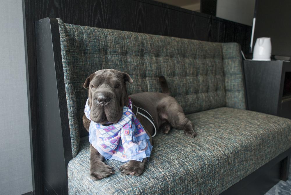 cachorro deitado em cima de sofá em quarto de hotel de luxo