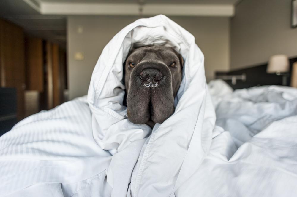 cachorro enrolado no edredon no hotel Hilton Morumbi