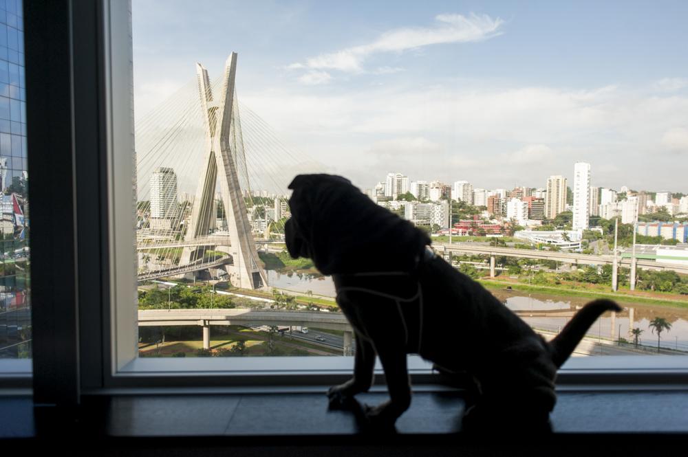 cachorro em cima da mureta de janela olhando a Ponte Estaiada
