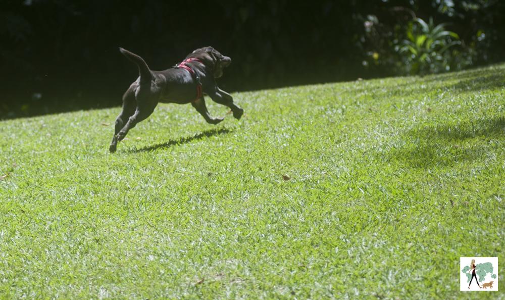 cachorro correndo em gramado