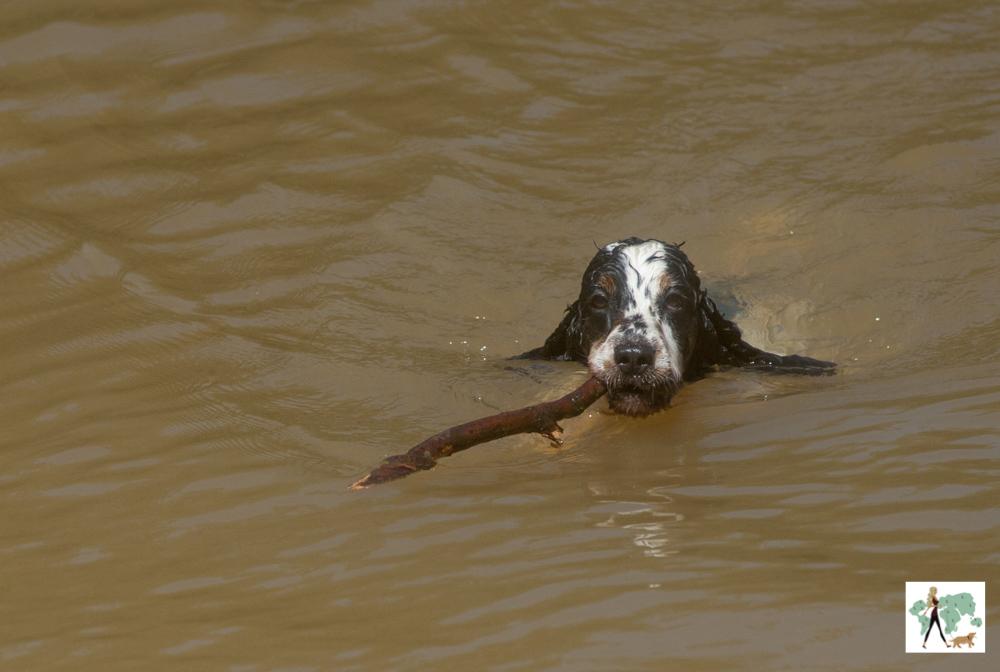 cachorro cocker spaniel nadando com tronco na boca na pousada Gaia Viva