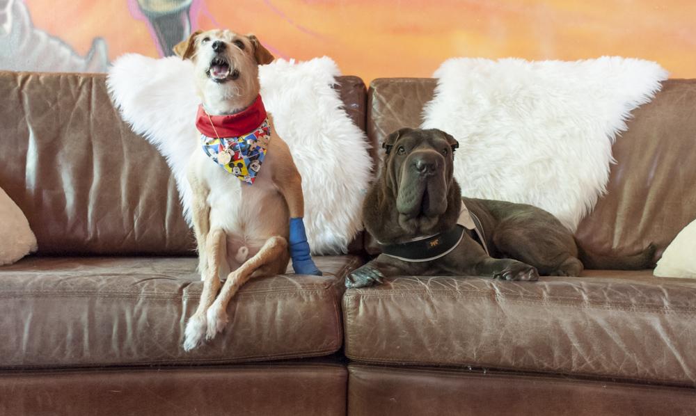 cachorros sentado no sofá
