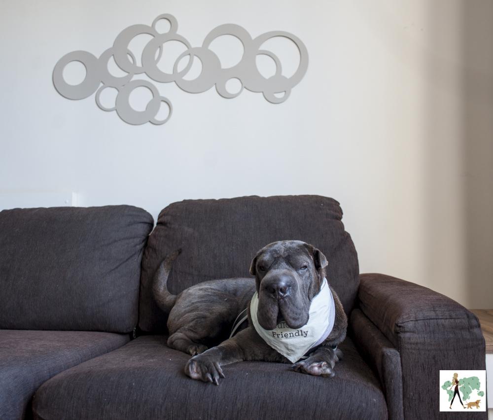 cachorro deitado em cima do sofá