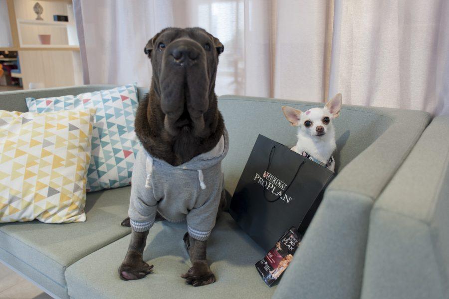 cachorro sentado em sofá e chihuahua dentro de sacola