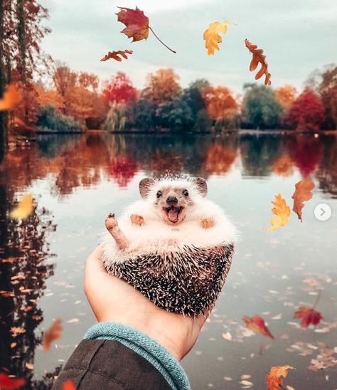 um porco espinho no outono