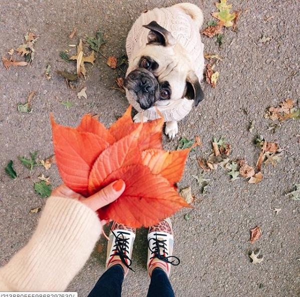 pug olhando para folhas