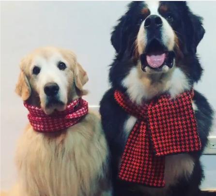cachorros com cachecol