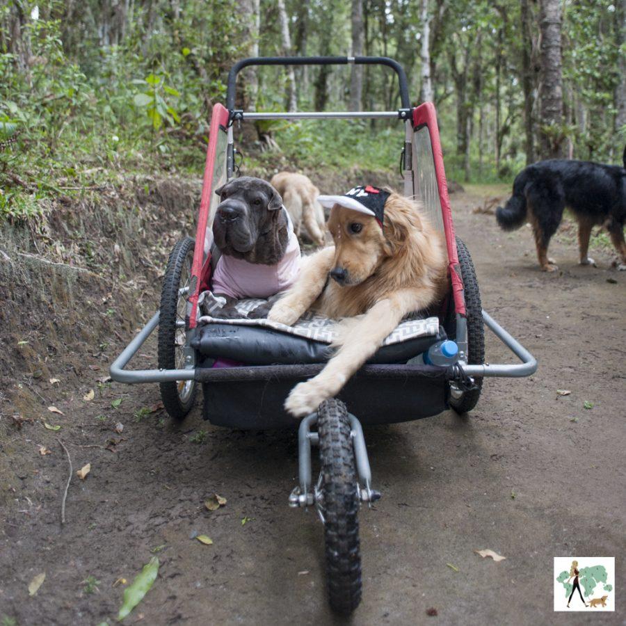 cachorro deficientes em carrinho