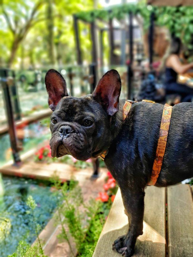 cachorro bulldog olhando para o lado